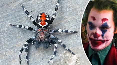 Tutkijat löysivät hämähäkin ja Jokerin hahmon välillä yhtäläisyyksiä.