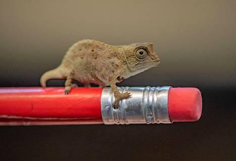 Pikkujättiläinen. Kuvan pygmikameleonttia voi mennä ihastelemaan brittiläiseen Chesterin eläintarhaan.