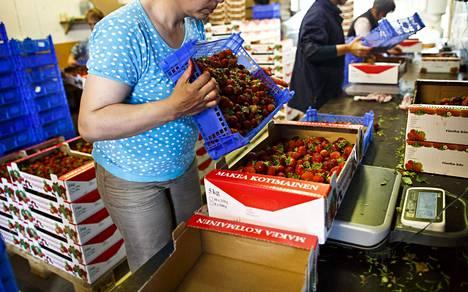 Ukrainalaisia kausityöntekijöitä valmistelemassa mansikoita myyntiin.