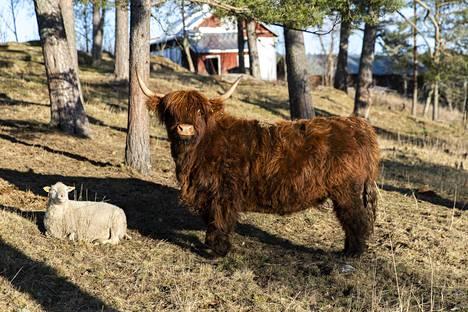 Paraisten tilalla on myös lampaita ja Skotlannin ylämaan karjaa.