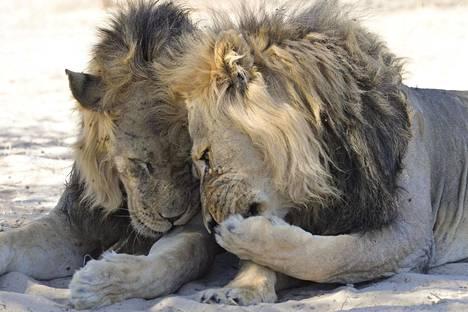 Leijonat kuvattiin Etelä-Afrikassa.