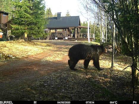 Jouni Laisin mökkipihassa Miehikkälässä vierailleella karhulla on komea turkki.