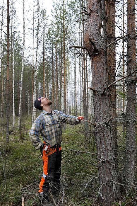 Tämä männikkö on kylvetty neljännesvuosista sitten. Aina metsän uudistus ei onnistu toivotulla tavalla. Ravinteikkaalla maalla kasvaneiden runkojen oksaisuus panee mietteliääksi.