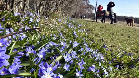 Sinililjat kukkivat Helsingin Lauttasaaressa perjantaina 16. huhtikuuta.