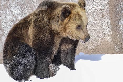 Jaki-karhu innostui telmimään lumessa.