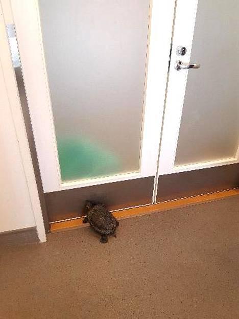 Juusela toivoo, etteivät ihmiset päästäisi kilpikonnia Suomen luontoon, sillä ne eivät kuulu sinne.