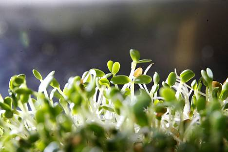 Ituja voi kasvattaa helposti ja nopeasti ikkunalaudalla.