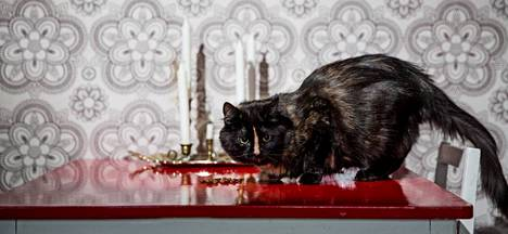 Kilpikonnaväritteinen Muru-kissa poseeraa pöydällä.