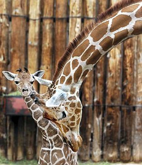 Kashka-kirahvi kuvassa yhden varsansa kanssa viime vuonna.