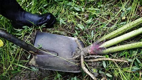 Jättiputkista on ihmisille myös terveydellistä haittaa. Kasvi voi aiheuttaa ihmiselle palovammoja sekä hengitys- ja allergiaoireita. Kuvassa jättiputken torjuntaa Lohjalla.