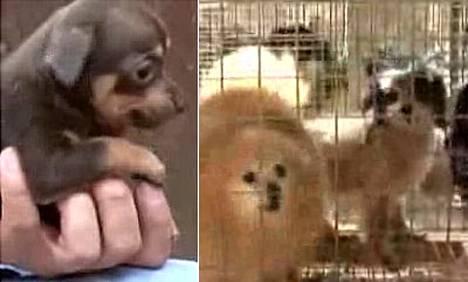 Tennesseen eläinsuojeluviranomaiset pelastivat keskiviikkona 700 koiraa Lylesissä, Hickmanin piirikunnassa toimineesta pentutehtaasta.
