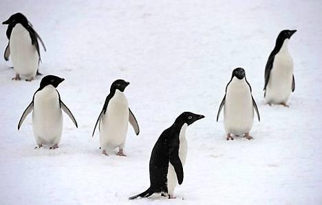 Pingviinijoukko vaappui tarkastamaan jäänmurtajailmestyksen.
