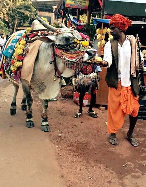Lehmät ja härät kuuluvat Goan katukuvaan. Useimmiten ne lompsivat itsekseen tonkimassa jätekasoja teiden varsilta.