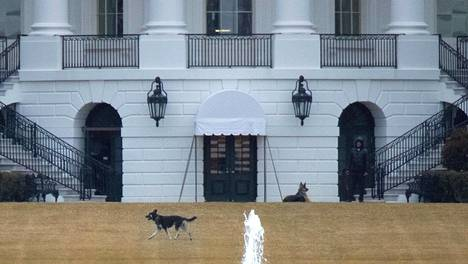 Champ ja Major nauttivat uudesta pihapiiristään helmikuun puolivälissä Washingtonissa.