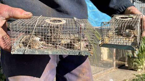 Hiirien määrän räjähdysmäinen kasvu on aiheuttanut paljon ongelmia Australiassa.
