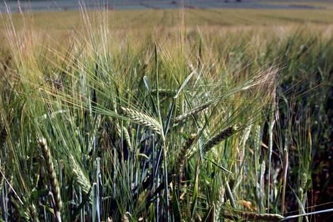 Viljakasveille pitkään jatkuva lämpö voi vaikuttaa siten, että kasvustot tulevat liian reheviksi.