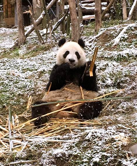 Pyry (Hua Bao) ennen lähtöään Kiinasta Dujiangyan pandakeskuksesta.