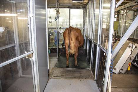 Lystinen on asettunut tutkimushuoneeseensa, jossa rehuravinnon muuttamisen vaikutukset lehmän aiheenvaihduntaan voidaan mitata.