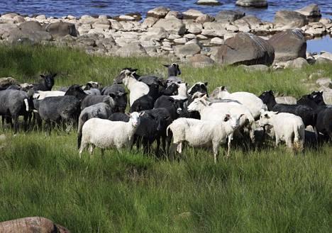Selkä-Sarven saari Kemin edustalla kuuluu Perämeren kansallispuistoon. Saaresta löytyy kesäaikaan myös laiduntavia lampaita.