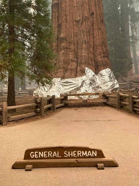 Peitteen toivotan suojaavan jättimäistä puuta.