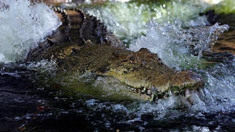Australialaismies kamppaili tunteja krokotiilien kanssa. Kuvituskuva.