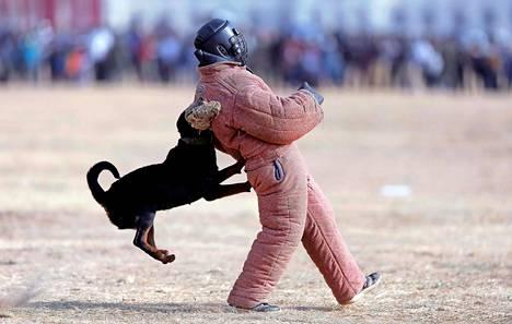 Koira hyökkää. Sri Lankan armeijan kommandoyksikön sotilaat ja koulutetut koirat esittelivät taitojaan Colombossa.