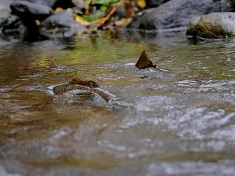 Longinojan taimenet ovat Vantaanjoelta pyydettyjen emojen jälkeläisiä. Taimenten kutupuuhia päästiin ensimmäisen kerran seuraamaan vuonna 2001.