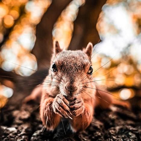 Tuomas tallensi kamerallaan oravan ruokailuhetken.