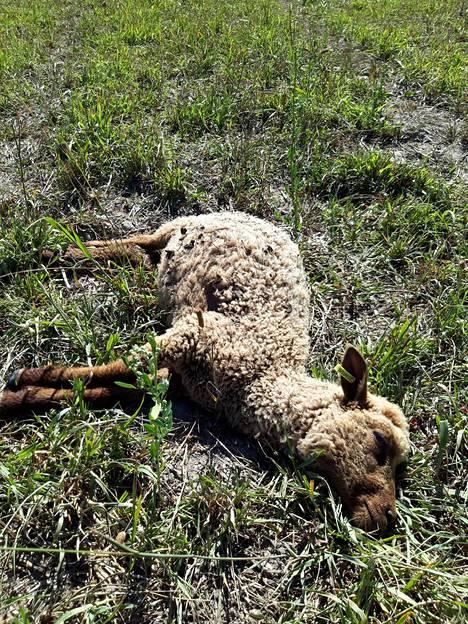 Suden raatelema lammas Inkoossa.