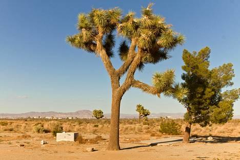 Mojave on kuuluisa joosuanpuistaan.