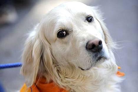 Kaverikoirat ovat koiria, jotka on koulutettu ottamaan vastaan halauksia ja silityksiä monilta ihmisiltä. Koirien työasu on oranssi huivi.
