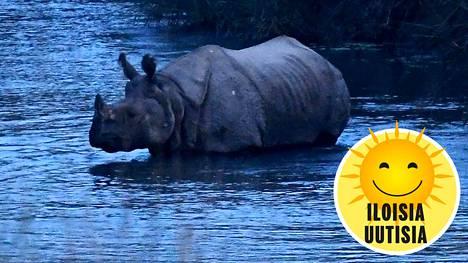 Sarvikuono joessa Chitwanin kansallispuistossa Saurahassa.