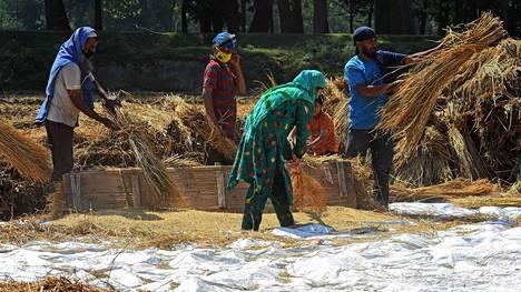 Sadonkorjuuta korona-aikaan Intian Kashmirin alueella.