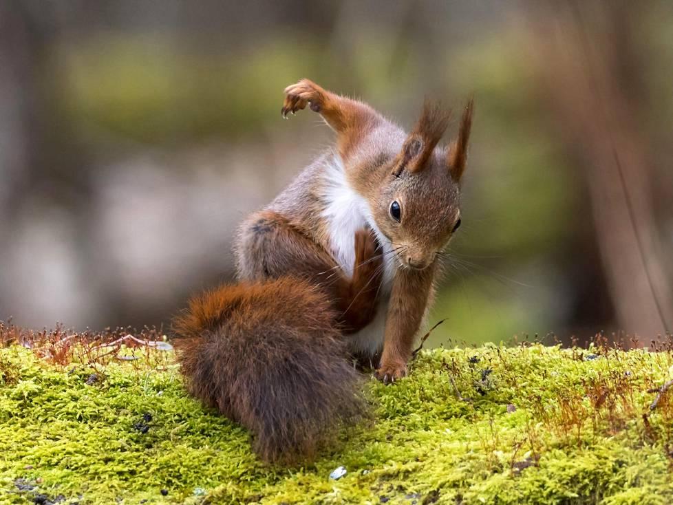 Oravaa kutitti Ruotsissa.