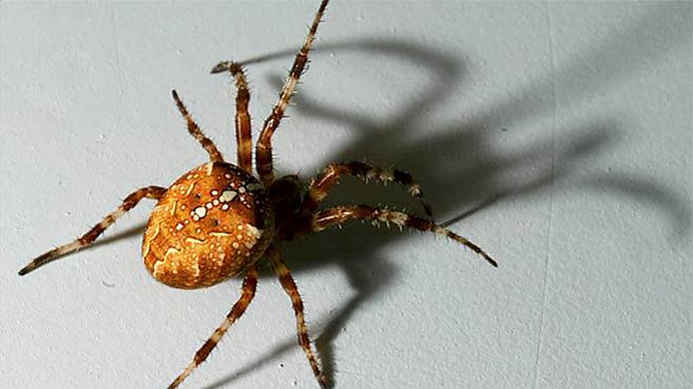 Suomen Suurin Hämähäkki