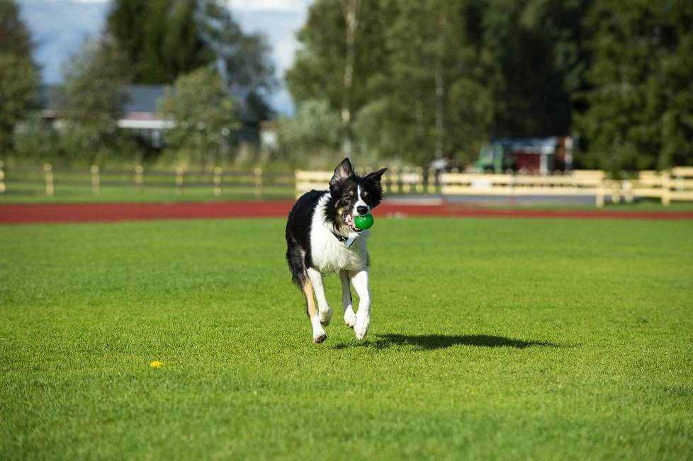 Hurja on 6,5-vuotias bordercollie.