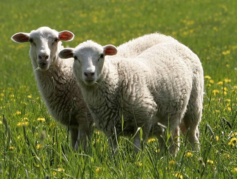 Tämä ihme on lampaan lahja ihmiselle - Oma raha - Ilta-Sanomat 56259f6aed