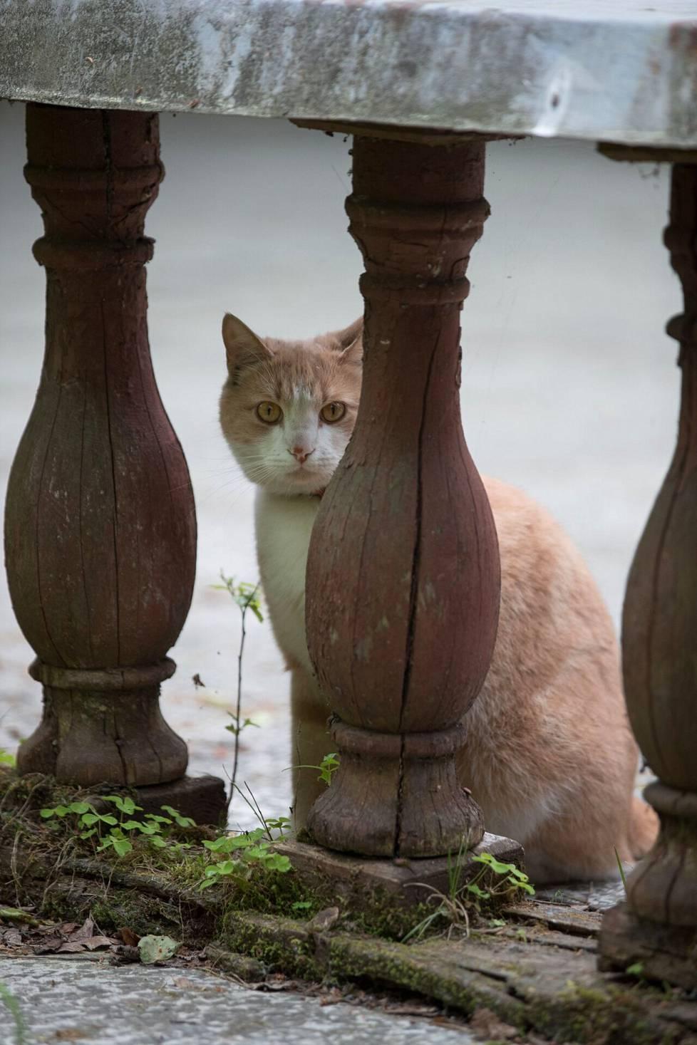 IS:n Terijoki-kierros herätti paikallisten mielenkiinnon. Tämä kissa heräsi päiväuniltaan Ainolan huvilalla.