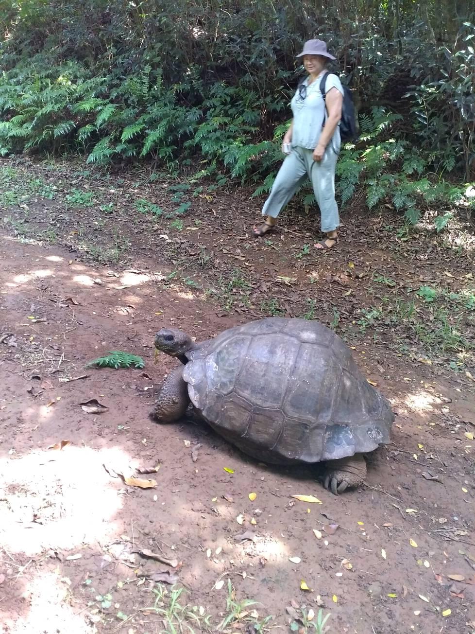 Pitcairnille oli tuotu Galapagos-saarilta yli 200-vuotias kilpikonna.