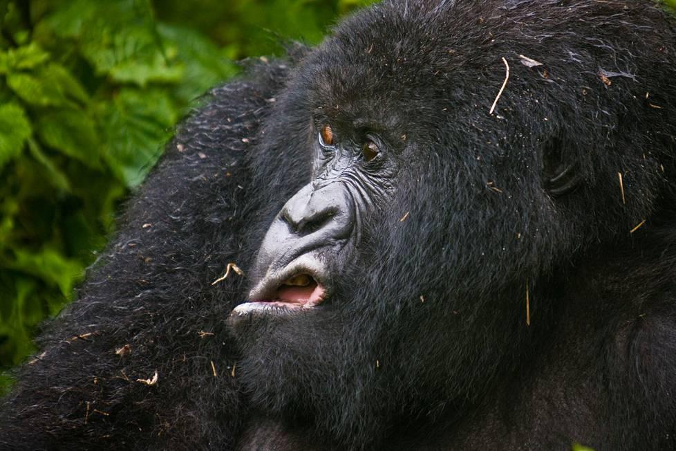 Vuorigorillan kuvauksellinen ilme Virungan kansallispuistossa Ruandassa.