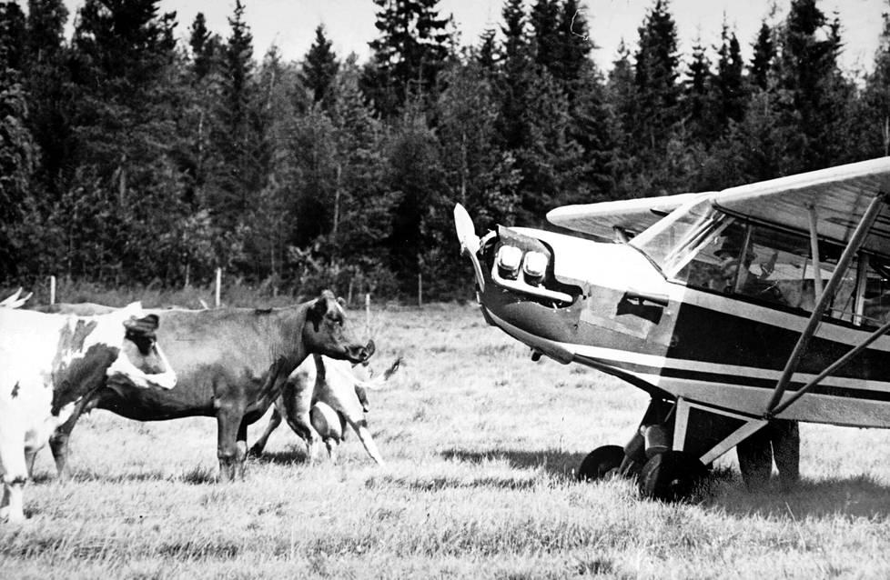Lehmillä riitti ihmettelemistä, kun Viljo Koistinen joutui tekemään pakkolaskun heidän laitumelleen.