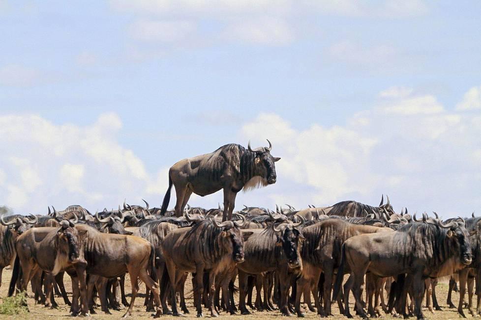 Tämä gnu vaikuttaisi olevan muiden kaltaistensa yläpuolella Keniassa.