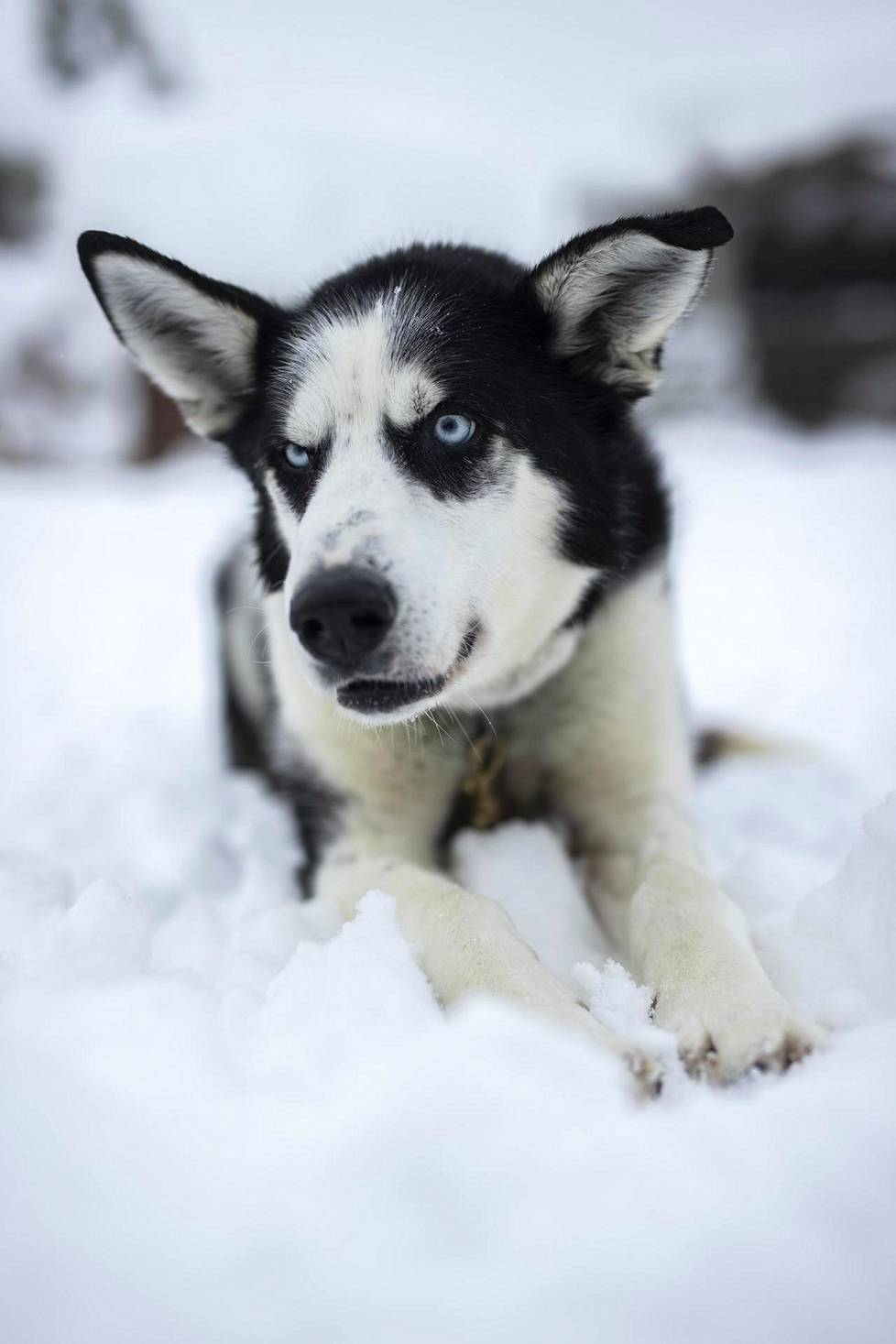 Harrinivan koiratarhalla on noin 400 huskya, joista osa on alaskanhuskyja ja osa siperianhuskyja.