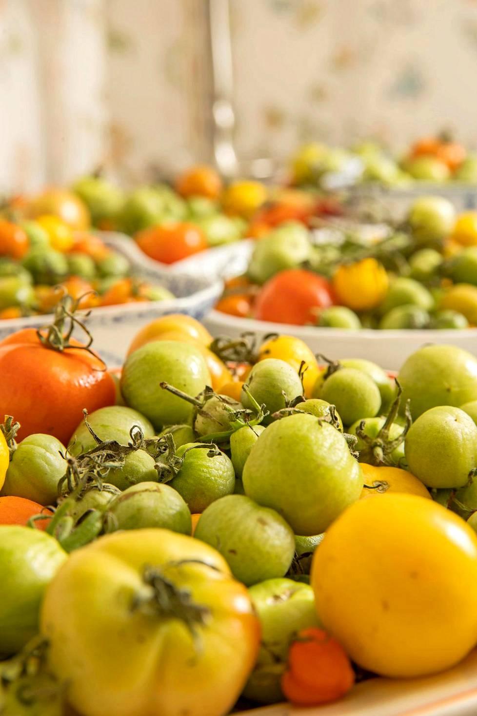 Tomaatteja viljellään omalla tilalla.