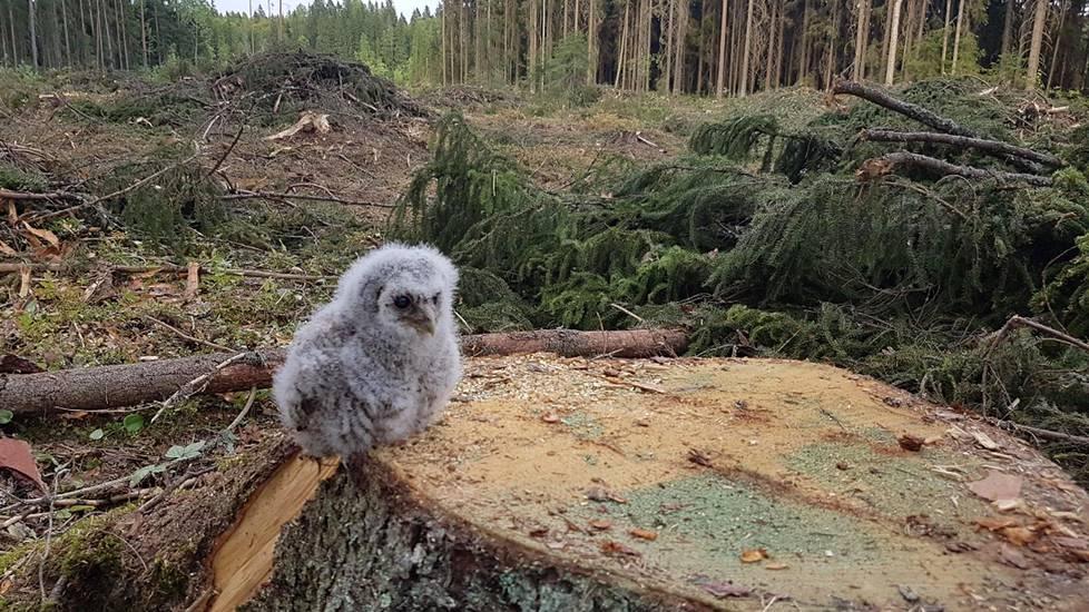 Kuvan lehtopöllö menetti pesänsä hakkuiden myötä. Tarinalla oli kuitenkin onnellinen loppu, sillä pöllö pääsi asustelemaan varapönttöön.