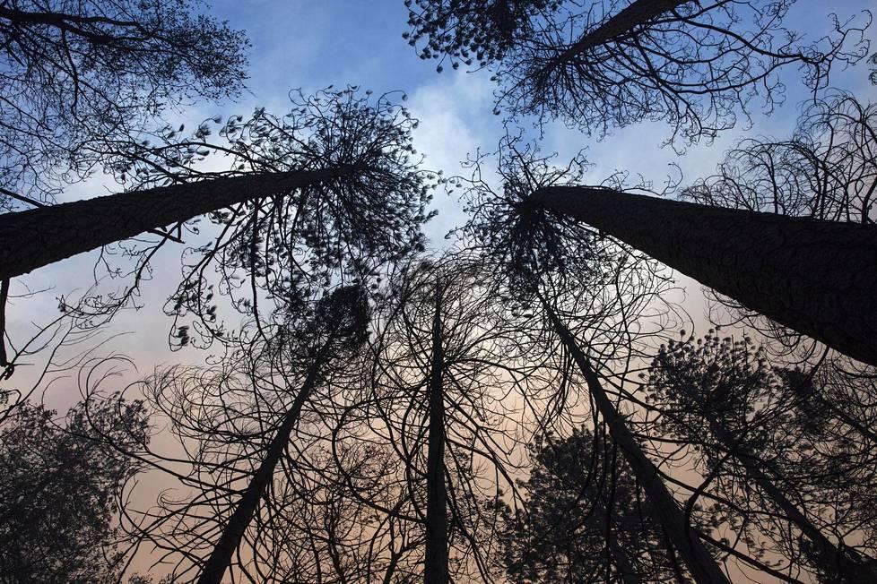 Palaneita puita Paradisessä, jonka Camp Fire -palo tuhosi lähes täysin. Viranomaisen mukaan kaupungista paloi 80–90 prosenttia.