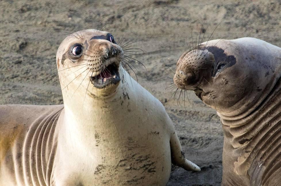 Mitä järkyttävää mahtoi merinorsu kertoa kaverilleen Kaliforniassa?