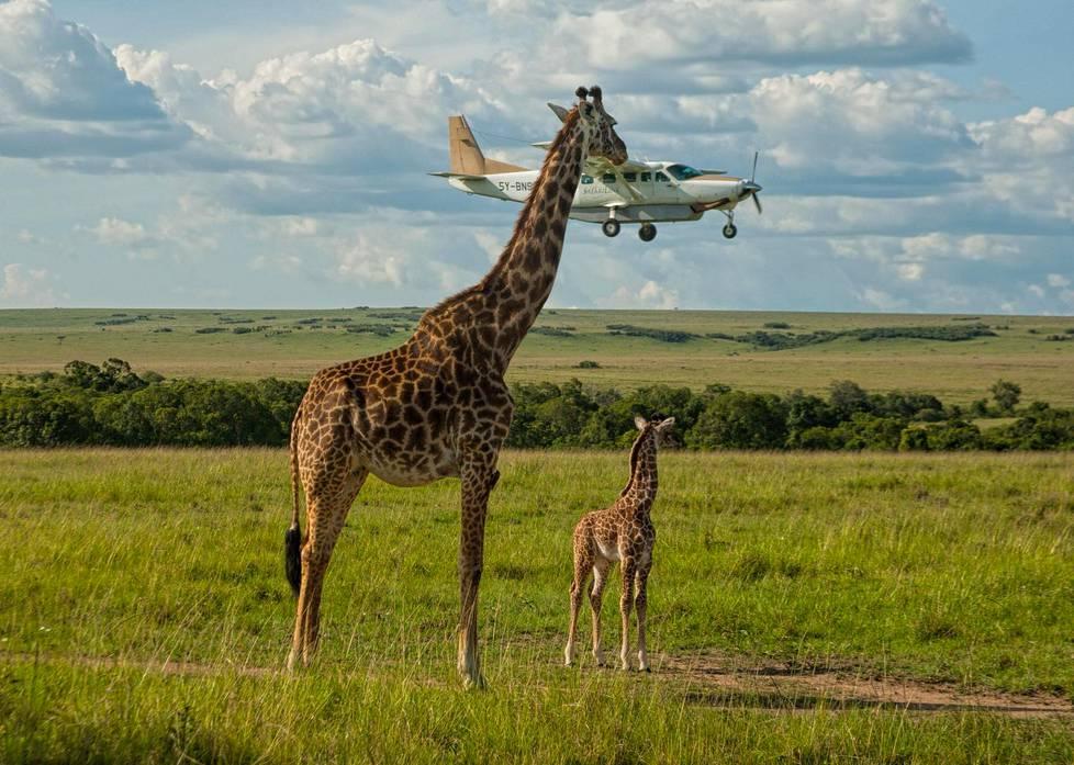Kirahvi kurkistaa lentokoneeseen Keniassa.