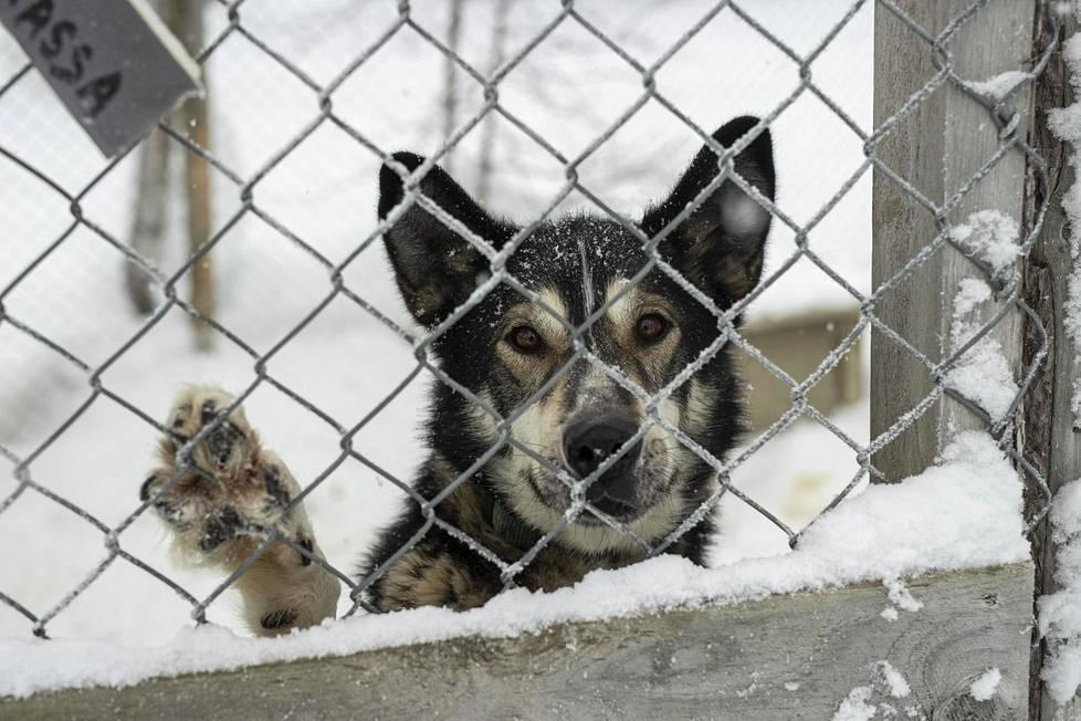 Harrinivan koiratarhalle ei ole tänä talvena pystytty palkkaamaan sesonkityöntekijöitä ollenkaan.