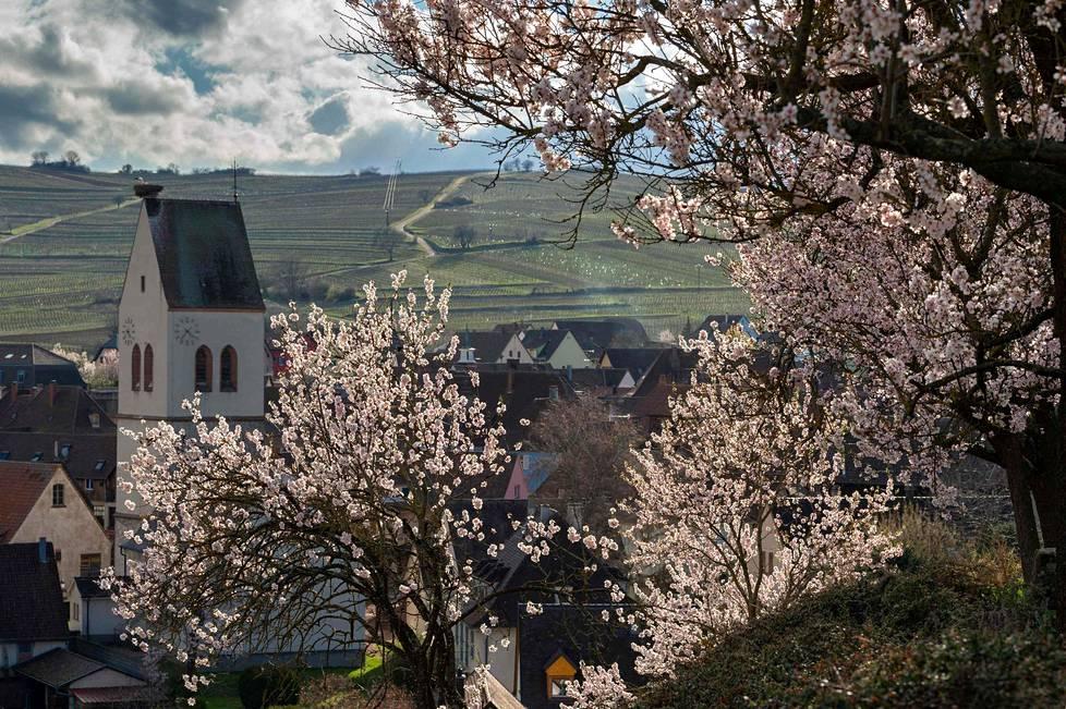 """Kevättä ilmassa.  Mantelipuut kukkivat jo Ranskan Mittelwihrissä niin kutsutun """"viinitien"""" varrella."""
